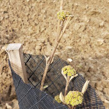 Viburnum lantana en floraison