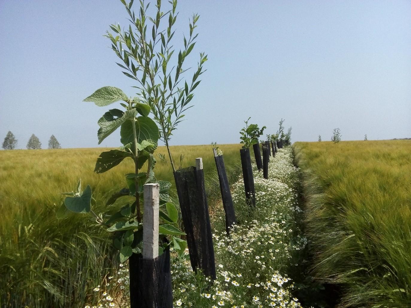 Floraison de matricaires sur la ligne d'arbres